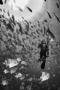 Diver among a school of Spadefish