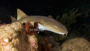 A Nurse Shark searches the reef for tasty crustaceans